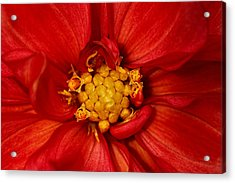 Bright Orange Dahlia Acrylic Print
