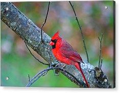 Bright Red Cardinal Acrylic Print by Karol Livote