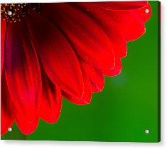 Bright Red Chrysanthemum Flower Petals And Stamen Acrylic Print