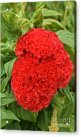 Bright Red Cockscomb Acrylic Print