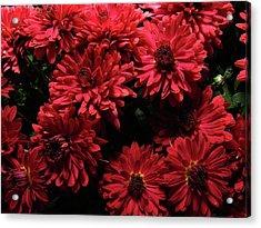 Bright Red Mums Acrylic Print by Scott Hovind