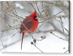 Bright Splash Of Red On A Snowy Day Acrylic Print by Skip Tribby