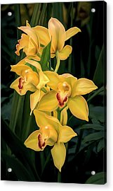 Bright Yellow Orchids Acrylic Print