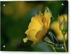 Bright Yellow Walking On Sunshine Rose Acrylic Print