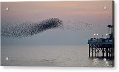 Brighton Starling Murmuration Acrylic Print