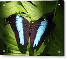 Brillant Blue Butterfly Acrylic Print by Nicole I Hamilton