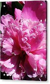 Brillant Pink Peony Acrylic Print by Bruce Bley