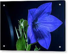 Brilliant Blue Balloon Flower Acrylic Print by Douglas Barnett