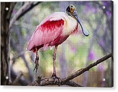 Brilliant Colorful Spoonbill Bird In Phoenix Zoo Acrylic Print