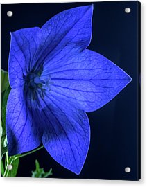 Brilliant Deep Blue Balloon Flower Acrylic Print by Douglas Barnett