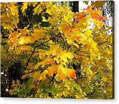 Acrylic Print featuring the photograph Brilliant Maple Leaves by Will Borden