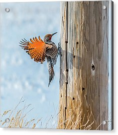 Brilliant Northern Flicker Woodpecker Acrylic Print