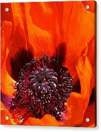 Brilliant Poppy Acrylic Print by Bruce Bley