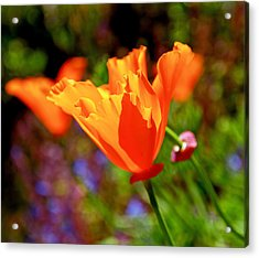 Brilliant Spring Poppies Acrylic Print by Rona Black