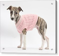 Brindle-and-white Whippet Pup Acrylic Print by Mark Taylor