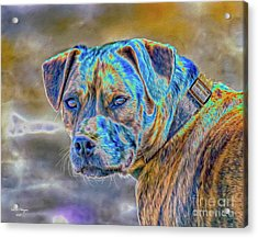 Bulldog  Acrylic Print by Bill And Deb Hayes