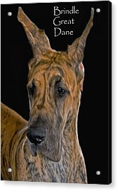 Brindle Great Dane Acrylic Print by Larry Linton