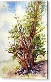 Bristle Cone Pine Acrylic Print