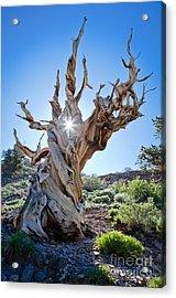 Bristlecone And Sun Acrylic Print