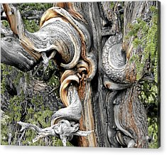 Bristlecone Pine - 'i Am Not Part Of History - History Is Part Of Me' Acrylic Print by Christine Till