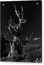 Acrylic Print featuring the photograph Bristlecone Pine by Art Shimamura