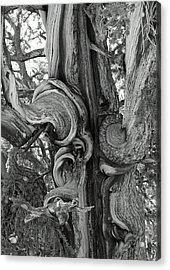 Bristlecone Pine Detail Acrylic Print by Troy Montemayor