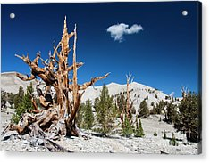 Bristlecone Pine - Pinus Longaeva Acrylic Print