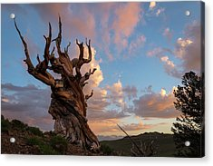 Bristlecone Pine Sunset Acrylic Print