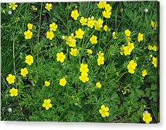 Bristly Buttercup Acrylic Print by Robyn Stacey