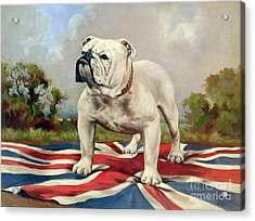 British Bulldog Acrylic Print by English School
