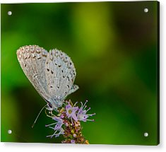 British Butterfly Or Little Blue Acrylic Print