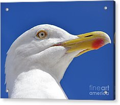 Acrylic Print featuring the photograph British Herring Gull by Terri Waters