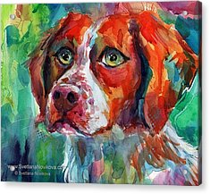 Brittany Spaniel Watercolor Portrait By Acrylic Print