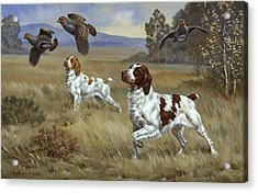 Brittany Spaniels Flush Three Birds Acrylic Print by Walter A. Weber