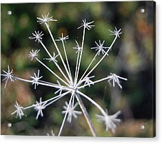 Brittle Stars Acrylic Print by Jean Booth