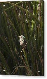 Acrylic Print featuring the photograph Broad Billed Humming Bird Fem by Daniel Hebard