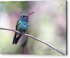 Broad-billed Hummingbird 2008-031718-1cr Acrylic Print