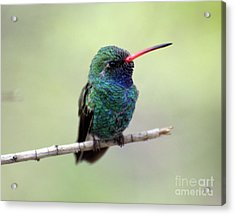 Broad-billed Hummingbird Portrait Acrylic Print