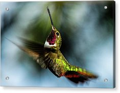 Broad-tailed Hummingbird In Flight Acrylic Print