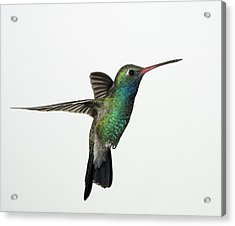 Broadbill Hummingbird In Flight Acrylic Print by Gregory Scott