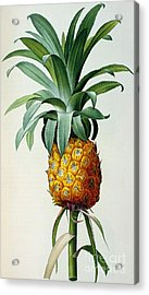 Bromelia Ananas, From 'les Bromeliacees' Acrylic Print