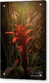 Bromeliad Sunset Acrylic Print by Elaine Teague