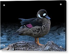 Bronze-winged Duck Acrylic Print