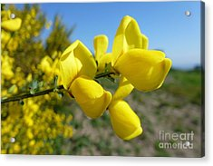 Broom In Bloom 4 Acrylic Print