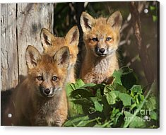 Brothers Acrylic Print by Mircea Costina Photography