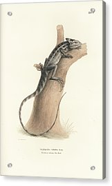 Acrylic Print featuring the drawing Brown Basilisk, Basiliscus Vittatus by Friedrich August Schmidt