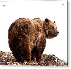 Brown Bear Acrylic Print by Boyan Dimitrov