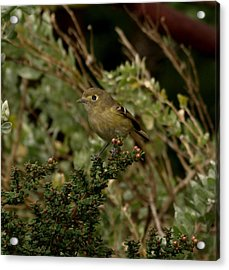 Brown Bird Acrylic Print by Laura Allenby