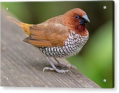 Acrylic Print featuring the photograph Brown Bird by Raphael Lopez