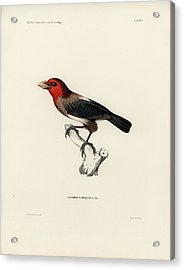 Acrylic Print featuring the drawing Brown-breasted Barbet, Pogonornis Melanopterus by Breck Bartholomew